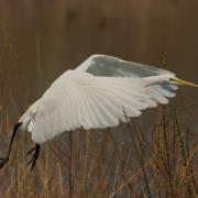 large_great white heron flying.JPG